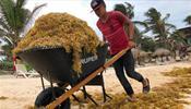 Спрос на Доминикану и Мексику может споткнуться о бурые водоросли
