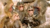 Противных обезьян уберут с Пхукета