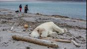 Белый медведь пал от рук круизной компании