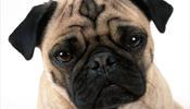 «Аэрофлот» запретит перевозку мопсов, пекинесов и других собак