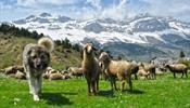 В Грузию – туристом-пастухом