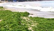 Тонны водорослей забили пляжи Болгарии