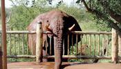 Слон решил напиться из джакузи